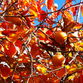 Fall Leaves & Persimmons